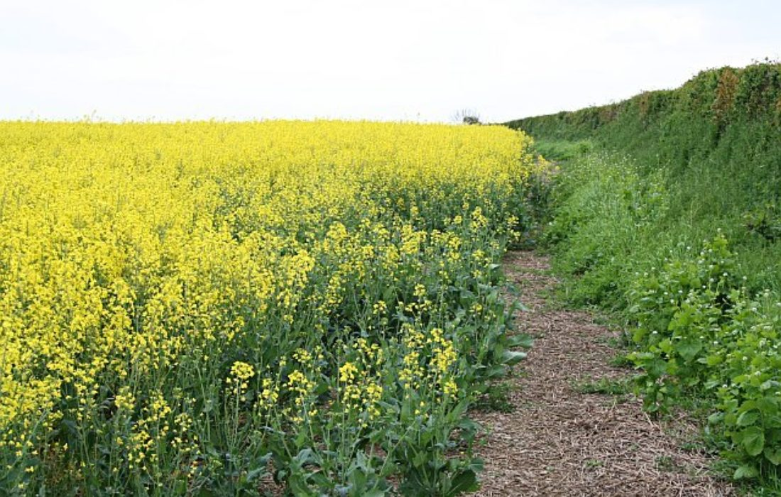 A Field Of Oilseed Rape  Geograph Org Uk  168793