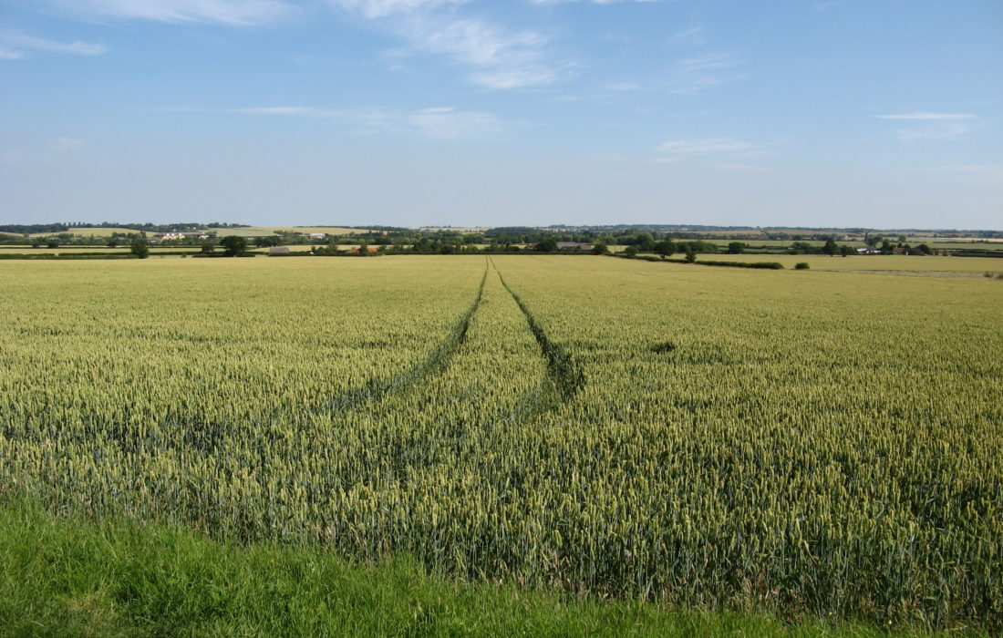 Wheat Fields East Of Tolleshunt D Arcy